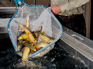 nate-wiese-mora-national-fish-hatchery-loading-gila-trout-destined-for-mineral-creek-in-gila-nf-photo-craig-springer-usfws-re-sized